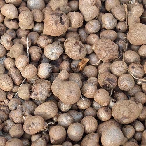 自然薯の種芋