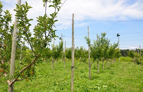 奈良岡さんのりんご畑