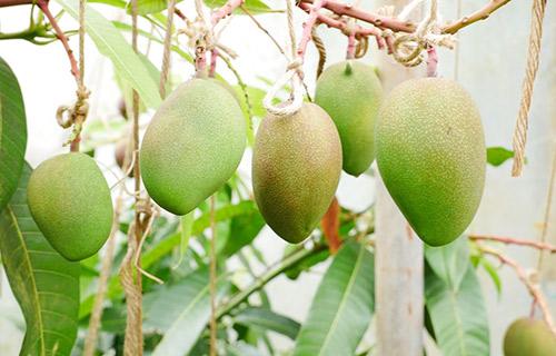 マンゴー畑