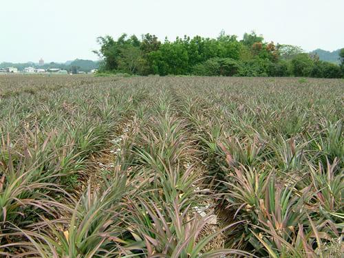 パイン畑2