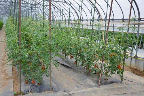 プラムトマトのハウス
